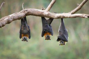 Tulsa Bat Removal